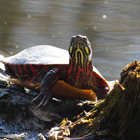 Spring Turtle by Erika  Kiley - Novices Only Wildlife ( water, log, pond, spring, turtle )