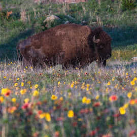 Buffalo In Wildflowers by Kathy Suttles - Digital Art Animals (  )