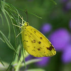large grass yellow
