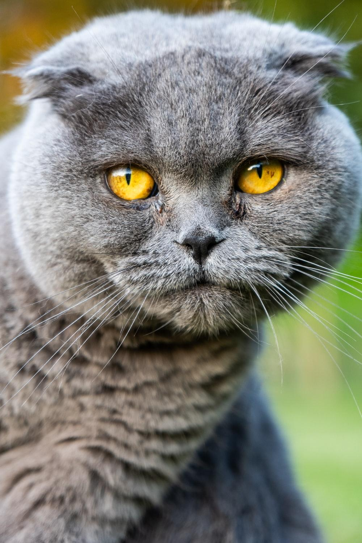 short-coated grey cat