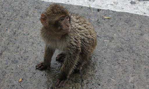 Look but don't touch: One of the 300 or so Barbary Macaques on Gibraltar.