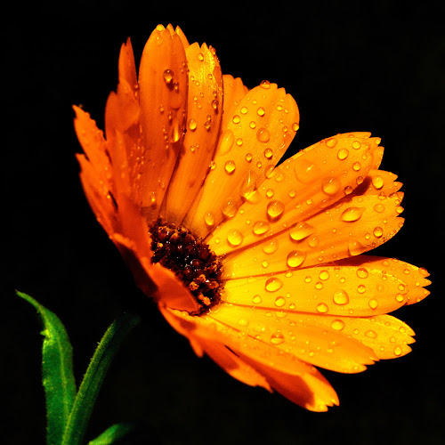 Orange daisy after rain by Peter Greenhalgh - Nature Up Close Flowers - 2011-2013 ( black background, water, orange daisy, daisy, raindrops )
