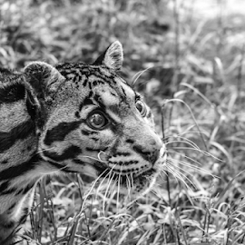 Leopard by Garry Chisholm - Black & White Animals ( nature, mammal, cat, clouded leopard, garry chisholm )