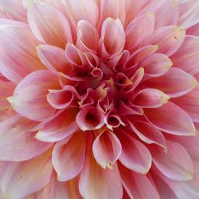 Dahlia by Helena Moravusova - Flowers Single Flower ( pink, dahlia, nature, flower )