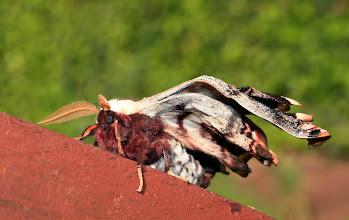 Photo: Potkaje lišaje .......  Lišaj paví oko (Smerinthus ocellatus)