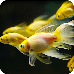 Betta fish live wallpaper android apps on google play for Live fish store