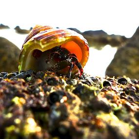 Hermit by Leimaile Guerrero - Animals Sea Creatures ( hermitcrab, seacreature, hermit, hawaii, crab )