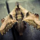 Amorpha juglandis