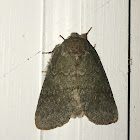 Drab Prominent Moth
