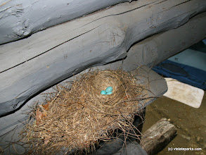 Photo: Robins nest in a lean-to at Coolidge State Park