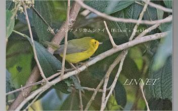 Photo: ウイルソンアメリカムシクイ(Wilson's Warbler)茶頭姫鳥です。  全長は約12cm位で、スズメ目アメリカムシクイ科に属します。  日本の舳倉島で1991年に観察例があるそうです。   アラスカ.カナダ.アメリカ南西部にかけて生息していて、  コスタリカには冬鳥として飛来します。   現地のガイドさんから過去に舳倉島で観察例があるとの説明を聞き、  是が非でも撮りたい野鳥でした。