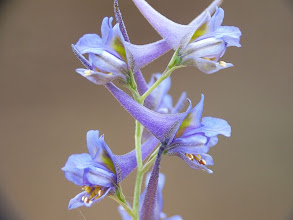 Photo: Delphinium gracile