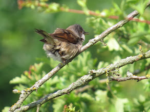 Photo: 25 Jun 13 Woodhouse Lane: A Common Whitethroat fresh from the shower! (Ed Wilson)