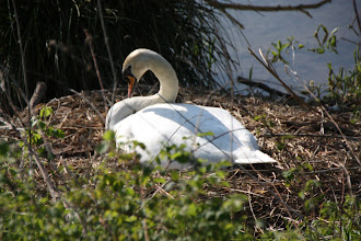 Photo: Day 28 - Swan on Its Nest