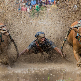Pacu Jawi by Teddy Winanda - News & Events Sports ( minangkabau, indonesia tourism, racing cows, pacu jawi, west sumatera )