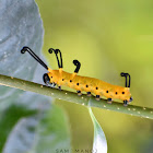 Blue Spotted Crow Caterpillar