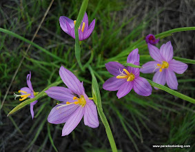 Photo: Lily, Steens Mountain