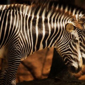 Seeing Double by Linda Tiepelman - Animals Other Mammals ( animals, forest park, arch, saint louis zoo, plains zebra, saint louis, white, mountain zebra, stripes, grévy's zebra, missouri, zoo, african equids, zebra, black )