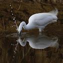 Garceta común (Little egret)