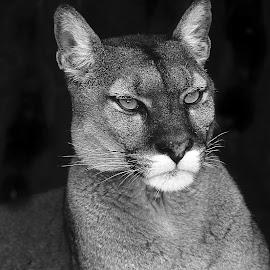 Cougar by Gérard CHATENET - Black & White Animals