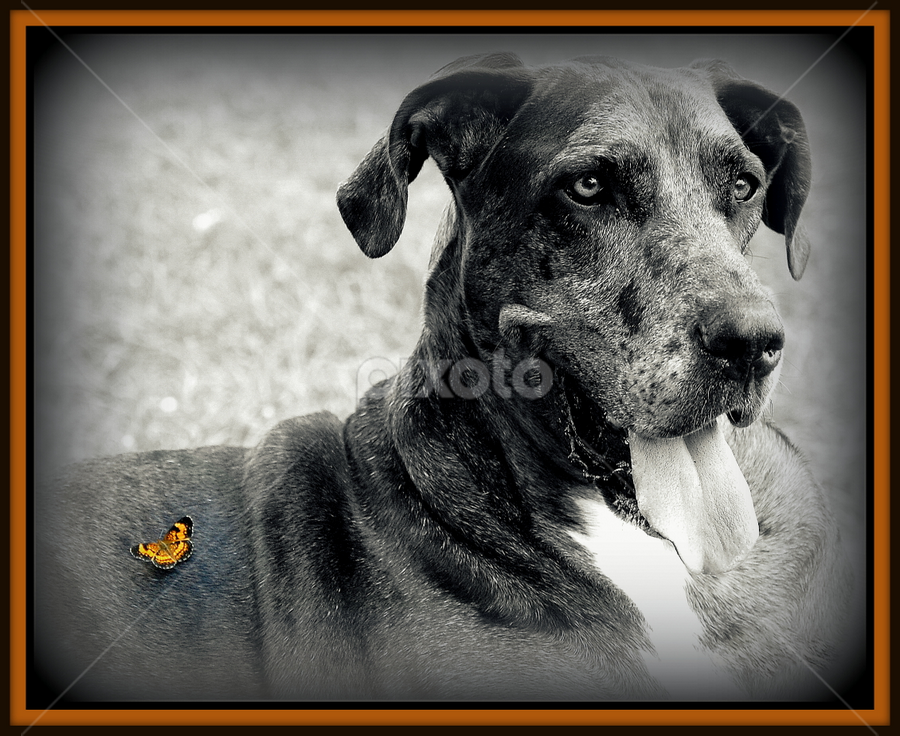 Lizzie and the Butterfly by Natures Gifts - Animals - Dogs Puppies ( butterfly, nature, dog, great dane, large dog )