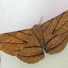 Dalima Geometer Moth