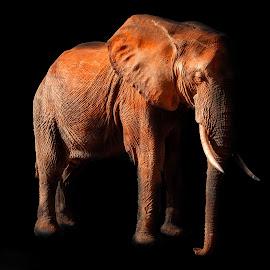Tsavo elephant by Philippe Collette - Digital Art Animals