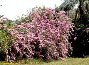 Photo: Cipó Rosa ( Cuspidaria convoluta )