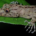 Titiwangsa Day Gecko