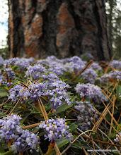 Photo: Mahala mat and ponderosa pine.