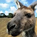 kangaroo wallpapers icon