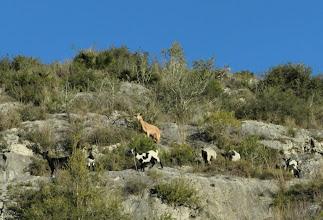 Photo: cabres, deixonses i cabridets