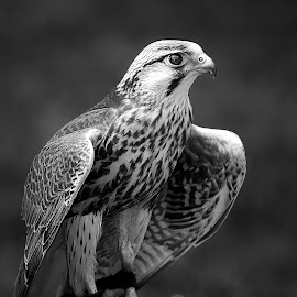 Little falcon by Gérard CHATENET - Black & White Animals