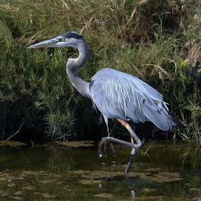 Great Blue by Karen Coston - Animals Birds ( great blue heron, nature, san francisco bay, baylands, heron, water bird,  )