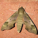 Virginia Creeper Moth