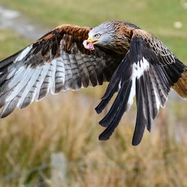 by Sharon Davies - Novices Only Wildlife ( bird, flight, flying, bird of prey, feeding, red kite )