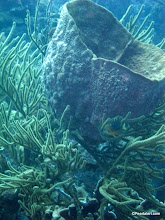 Photo: Netted Barrel Sponge supported by a soft coral that has grown through the sponge