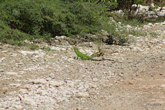 Photo: Iguana tomando sol