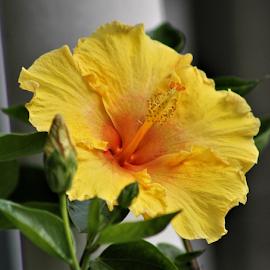 Yellow Hibiscus by Leah Zisserson - Flowers Single Flower ( store scene, hibiscus, yellow, garden, virginia, summer,  )