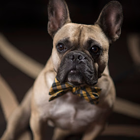 Ready for the show by Mike Ritchie - Animals - Dogs Portraits ( frenchie, tie, french bulldog, brown, fawn, dog, animal )