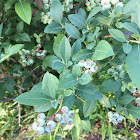 Highbush Blueberry