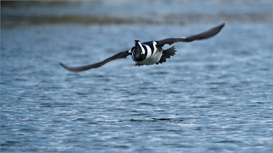 Photo: Hooded Merganser in Flight RJB Wild Birds of Ontario Workshops Nikon D800 Swarovski Telescope STX 30 x 95mm - 1350 mm 1/1000s f/1.0 iso800  +Birds GALLERY  #birdsgallery  +Heinrich Wagner +BIRD LOVERS Worldwide  #birdloversworldwide  +Robert SKREINER +Birds4All  #birds4all  +Walter Soestbergen +Ricky L Jones +HQSP Birds  #hqspbirds  +Marina Versaci +Joe Urbz +Birds World  #naturephotography   #wildlifephotography