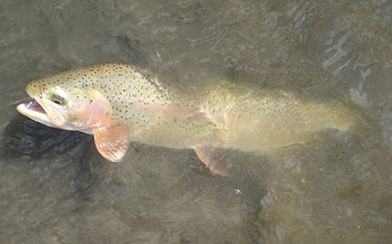 Photo: Madison River Rainblow- Mad River Outfitters