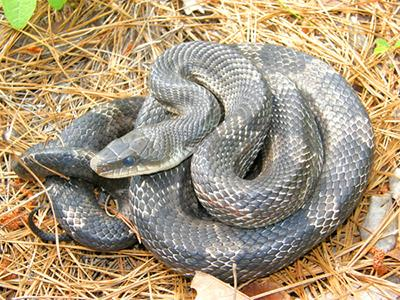 Image result for texas rat snakes