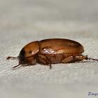 Cyclocephala putrida