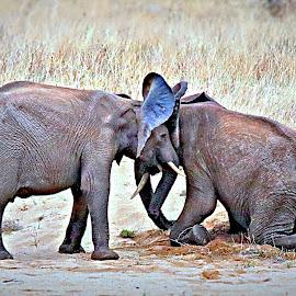 Ellie Wrestlers  by Pieter J de Villiers - Animals Other