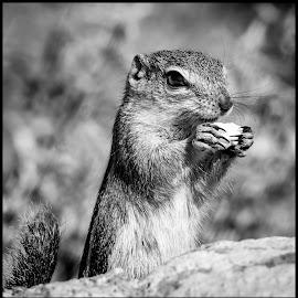 Ground Squirrel by Dave Lipchen - Black & White Animals ( ground squirrel )
