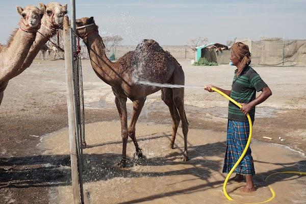 Ein Kamel wird geduscht