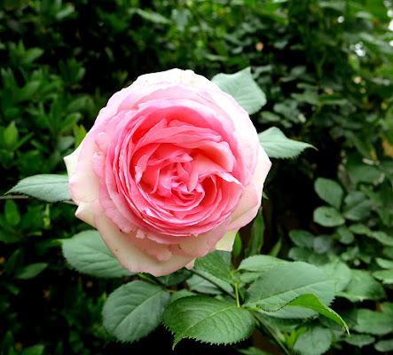 La Rosa di BlueBetty