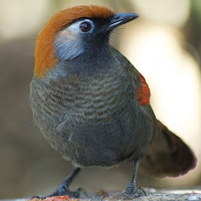 Chestnut crowned Laughingthrush by William Tan - Animals Birds ( bird, laughingthrush, chestnut, portrait, animal )